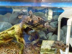 Swimming Turtle.
