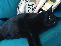 Someone is super excited that I'm working from home today. #scullytheblackcat #ConstantPurring