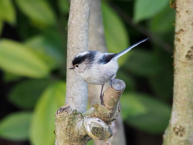 ..long-tailed tit ..aegithalos caudatus...codibugnolo