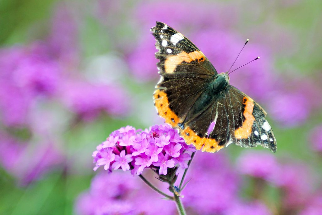 A black an yellow butterfly standing on a flower, on a background of purple flowers, at Kew Gardens, London