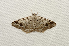 Macaria sexmaculata (Six-spotted Angle Moth) - Hodges # 6343