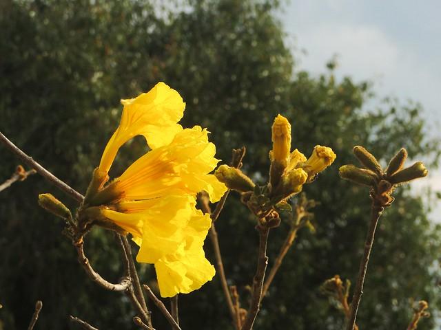 Last Ipe flowers