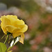 Yellow for Romance ....