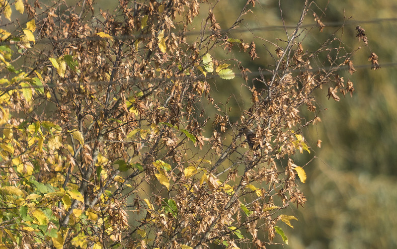 Hawfinch, Hawkesbury Meadow, Sandy 21st Oct 2017