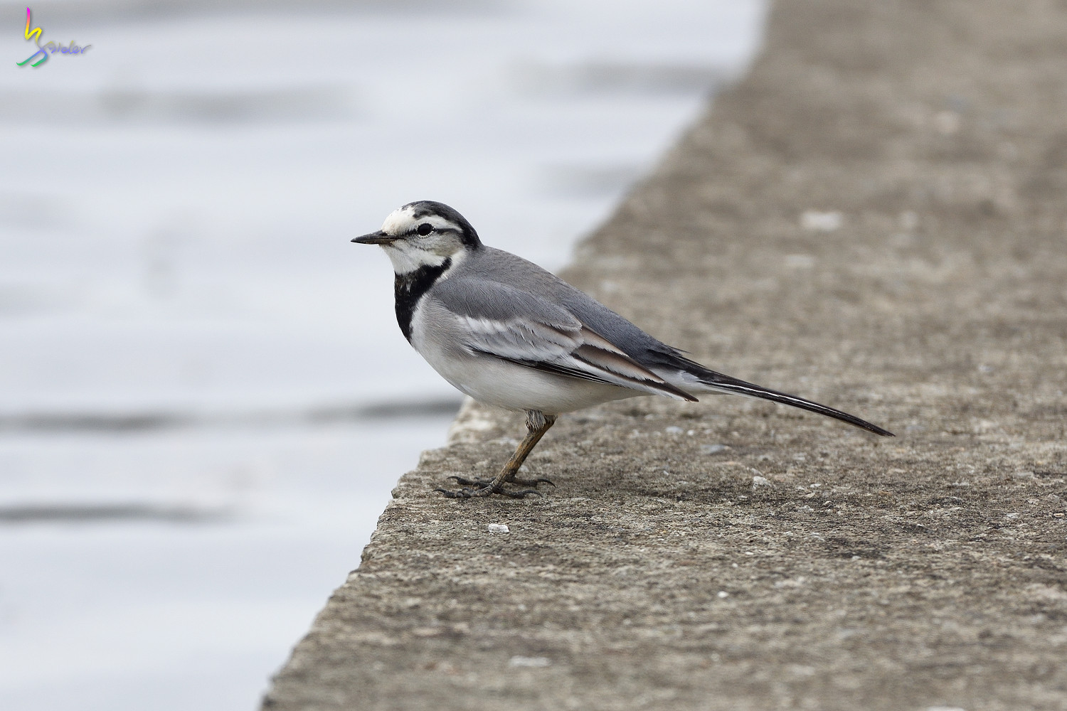 White_Wagtail_1180