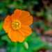 Welsh Poppy, Kibworth, Leicestershire