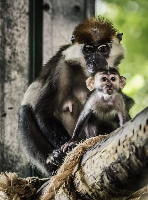 Cherry-Crowned Mangabey Monkey & Baby