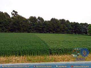 Variedad de trigo y Verdeos de Invierno
