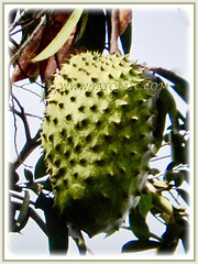 Fruit of Annona muricata (Soursop, Prickly Custard Apple, Durian Belanda in Malay) that is ripening to yellow, 22 Oct 2017