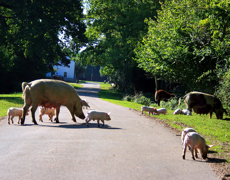 Pigs and piglets roaming free in the New Forest. Credit ian mcwilliams, flickr