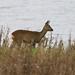 Roe deer at Vane Farm