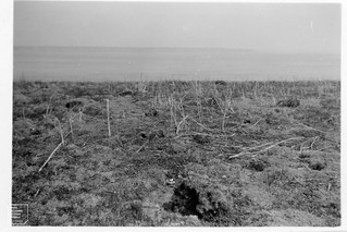 General view of ex-Senecietum, July 1949, showing dead stems from previous year.