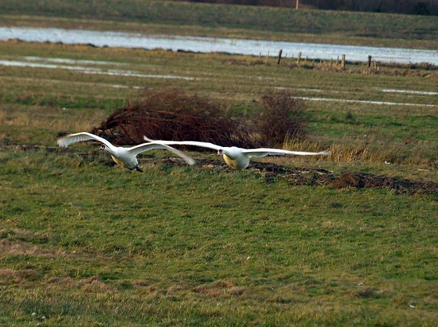 Whooper Swans Welney 068