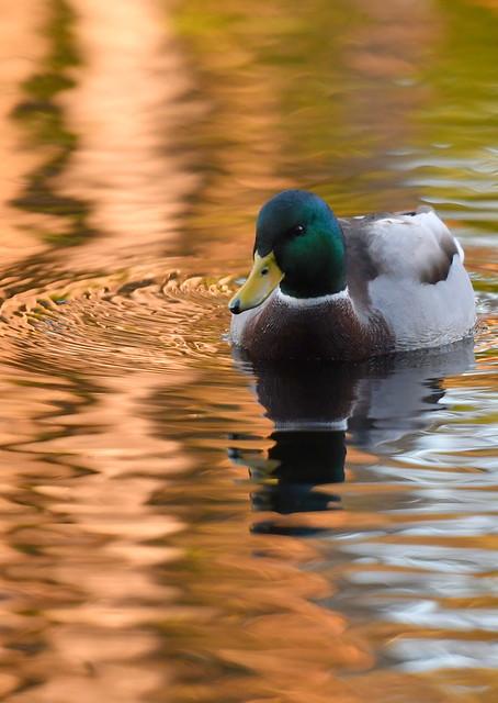 Young Male Mallard Duck in Autumn Sun