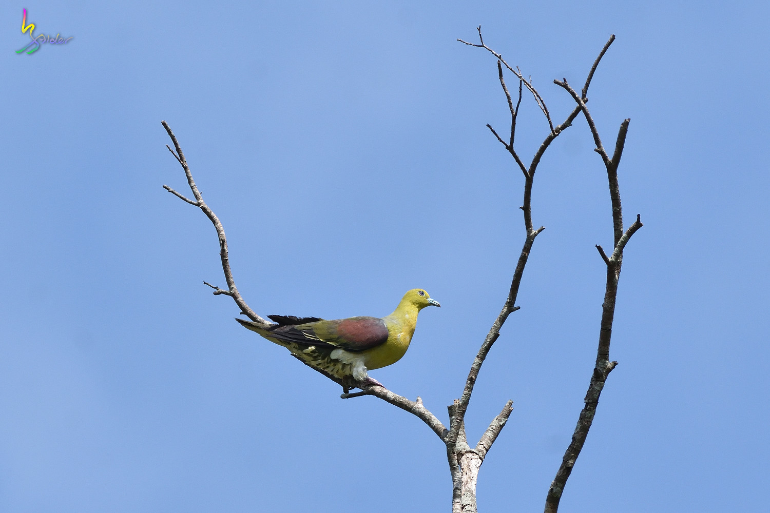 Japanese_Green_Pigeon_8598