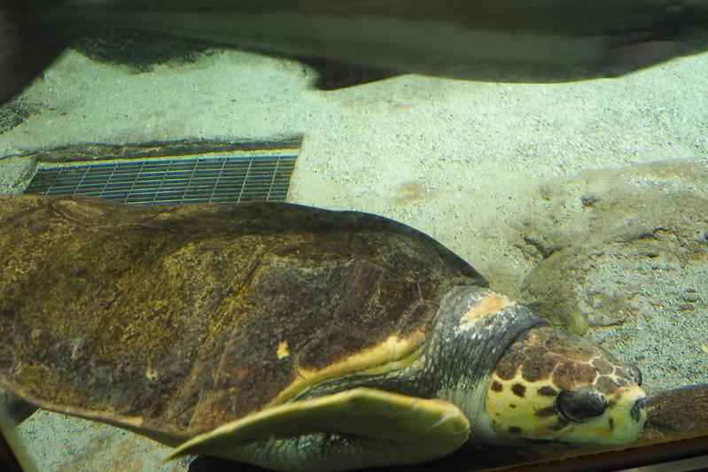 名古屋港水族館ウミガメ