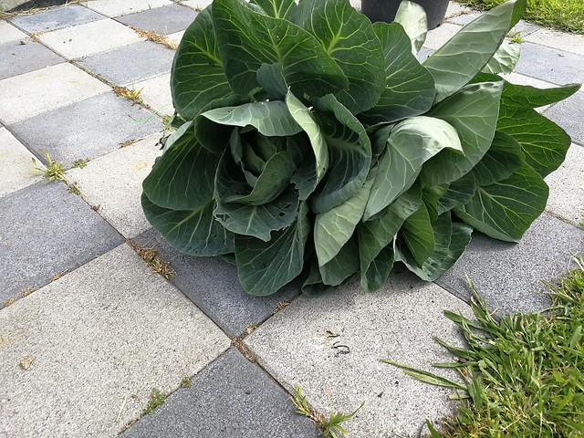 2 individual cabbages