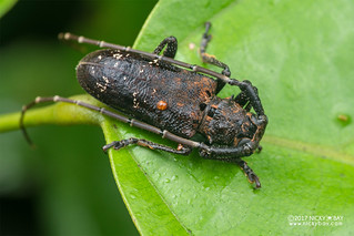 Longhorn beetle (Metopides sp.) - DSC_9839