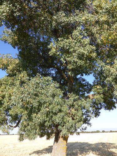 Fraxinus angustifolia Vahl 1804 (OLEACEAE)