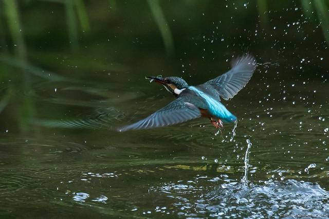 20171026-kingfisher-DSC_6095