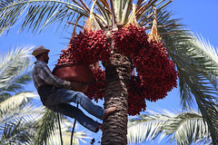 Palestinian farmers harvest dates from a palm tree in the central Gaza Strip