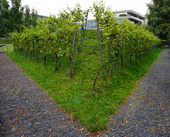 Vineyard at the garden of the representation of the State of Hesse in Berlin