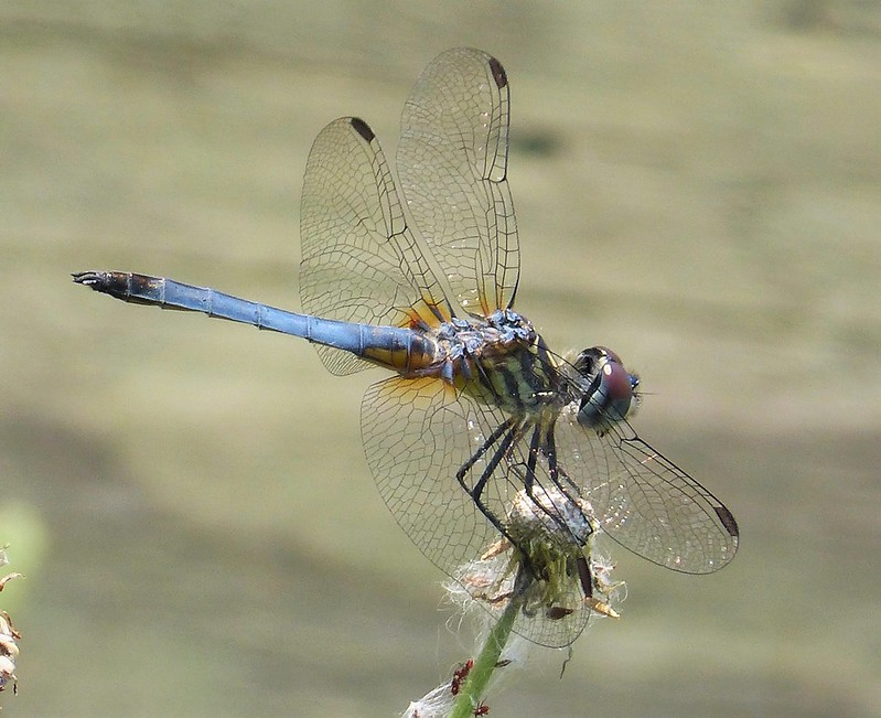 Blue Dasher male. Pachydiplax longipennis