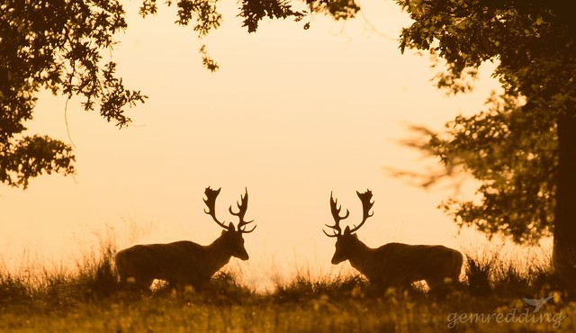 fallow stags glowing silhouette