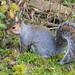 Grey Squirrel, (Sciurus carolinensis).