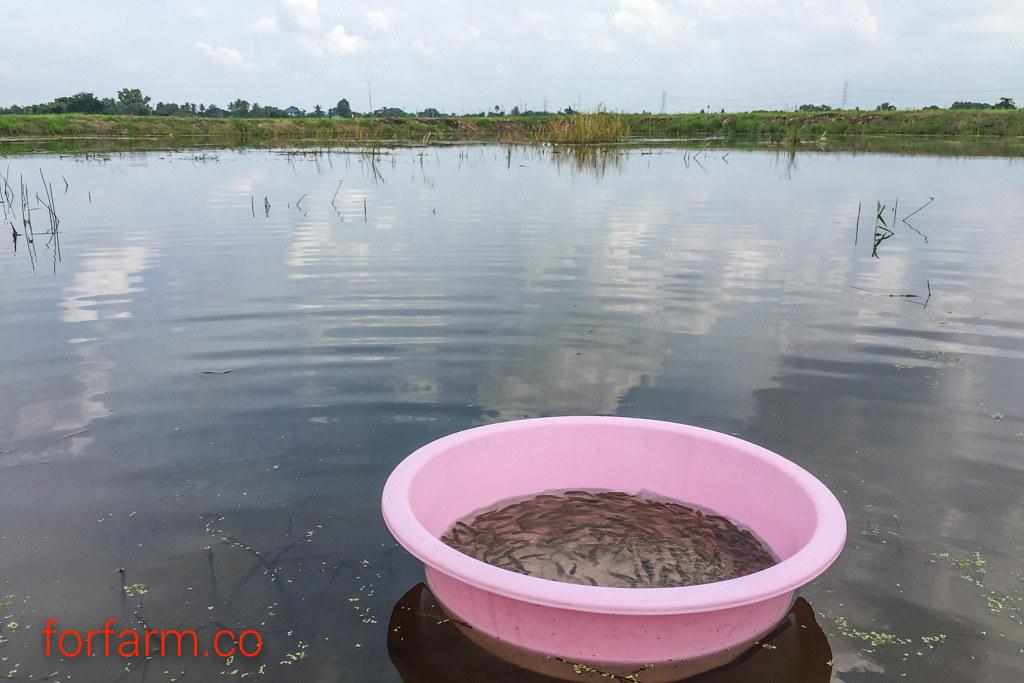 เลี้ยงปลากินพืช ป้องกันหญ้าขึ้นรกในบ่อน้ำ