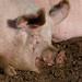 Dozing in the morning sun: pig, Northycote Farm