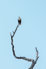 African Sea Eagle perched on a weathered tree