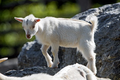 Young white goat on the rock