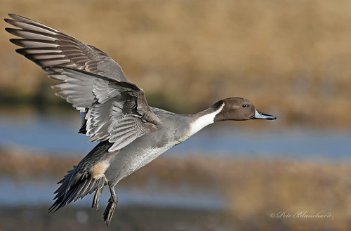 Pintail (explored)