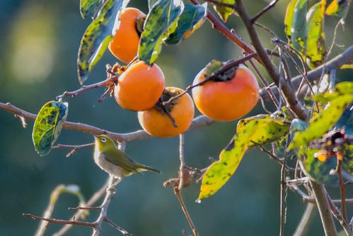 2017/10/27 (金) - 7:45 - 柿の木にメジロ ー 鎌倉