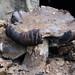 Debris-covered mushrooms by a sett entrance