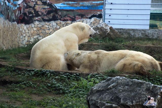 Eisbär Fiete im Sosto Zoo 01.10.2017 152
