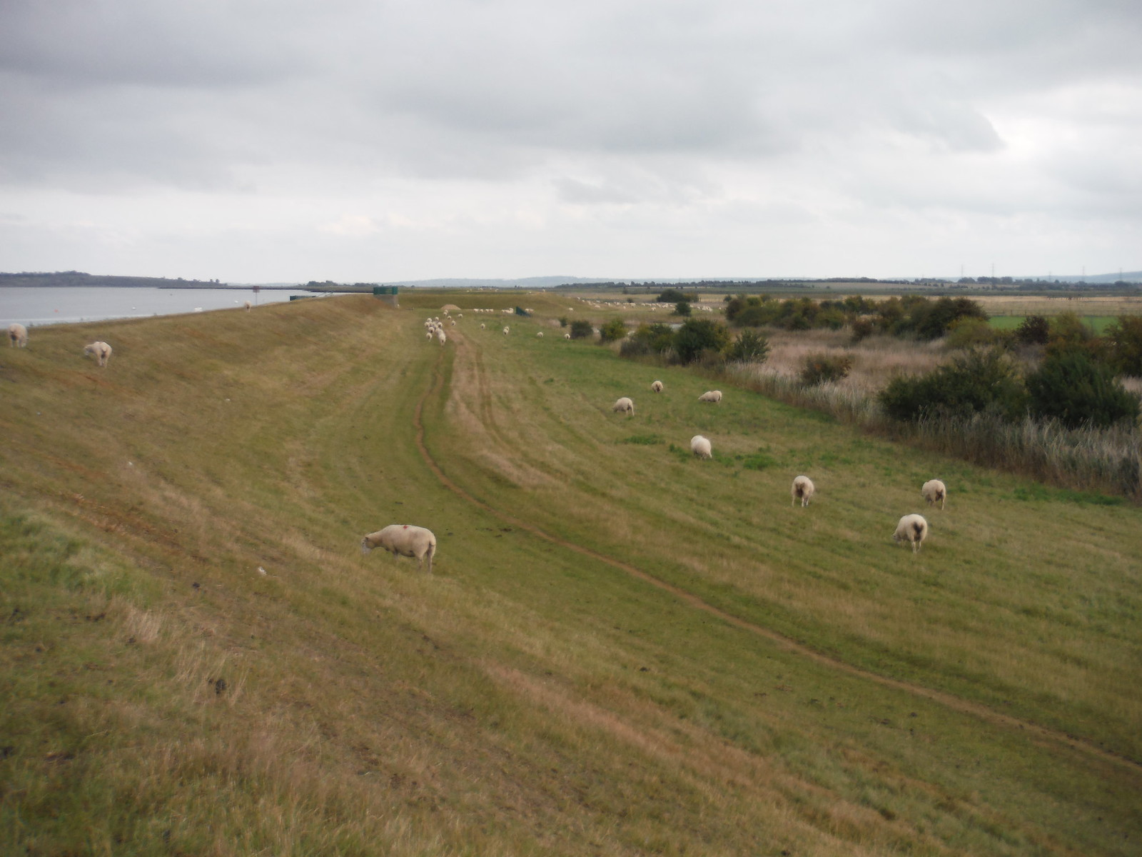 Sheep, Seawall, Teynham Level SWC Walk 299 - Teynham to Faversham