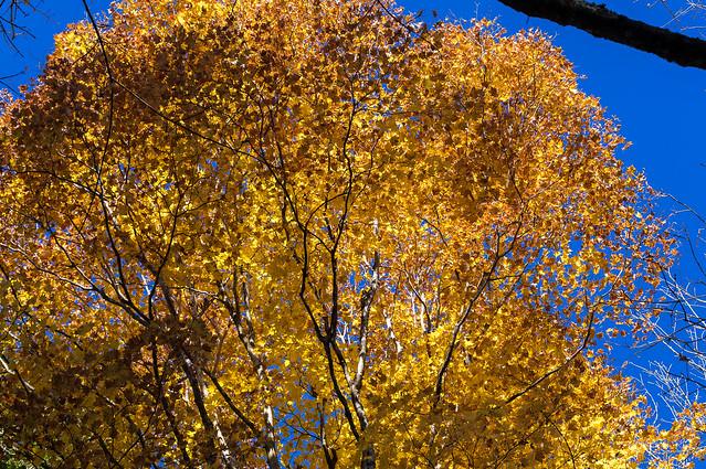 カエデの黄葉