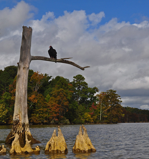 Chickahominy River with Turkey Vulture10-7-17 (4)