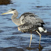 Ardea herodias (Great Blue Heron) 1st year - Everett WA