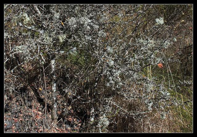 Evernia prunastri - évernie du prunellier  37018468103_34f83cb8e7_z