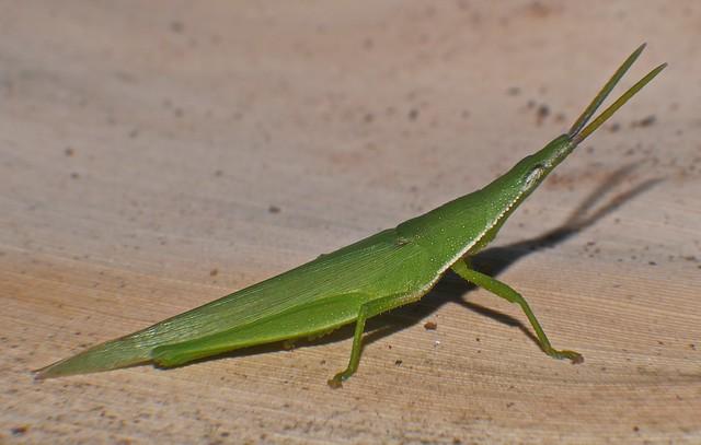 Green pyrgomorph grasshopper Atractomorpha sp Pyrgomorphidae Airlie Beach P1060725