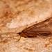 Halesus digitatus [Caperer Caddisfly].