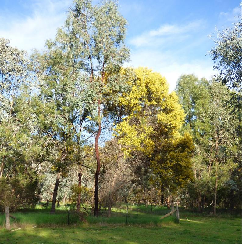 Acacia doratoxylon Tuan Campsite EC