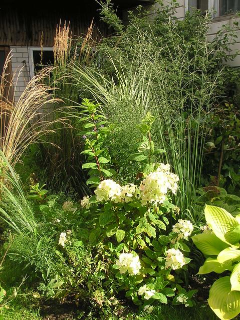 Hydrangea paniculata 'White Diamond' & grasses