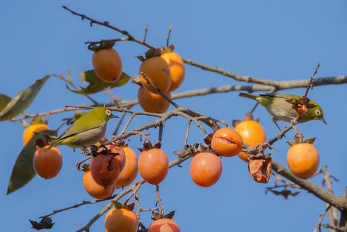 2017/10/27 (金) - 8:36 - 公園の中にあるこの柿の木にメジロの群れが来ていた