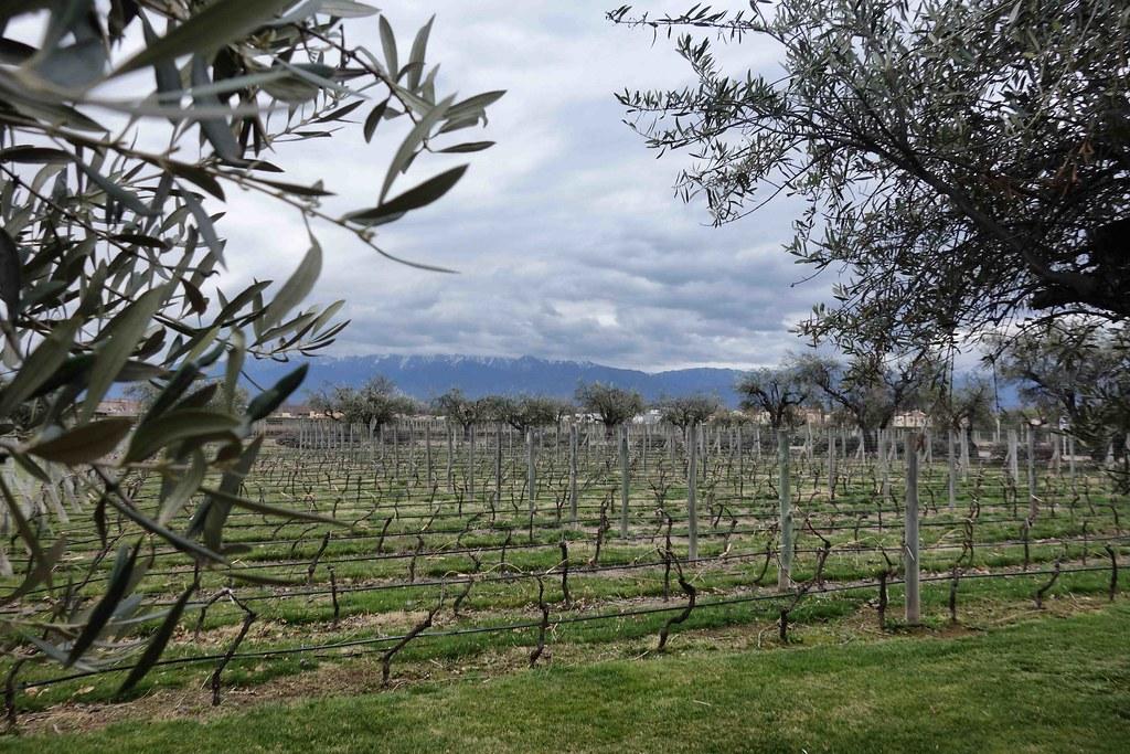 Mendoza - Vignes