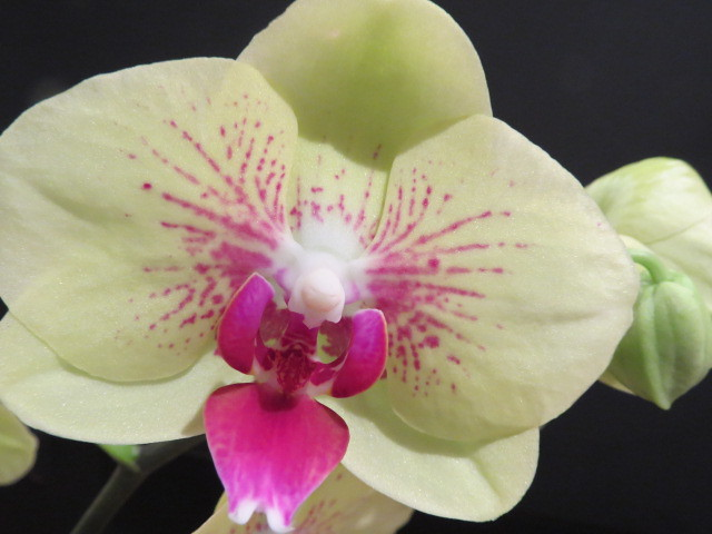 Orchidées chez lavandula - Page 2 37527388630_0c93c85e6f_z