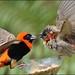 Red Bishop versus Red Bishop Juvenile. by LC's Eye (Wild Images of Africa)